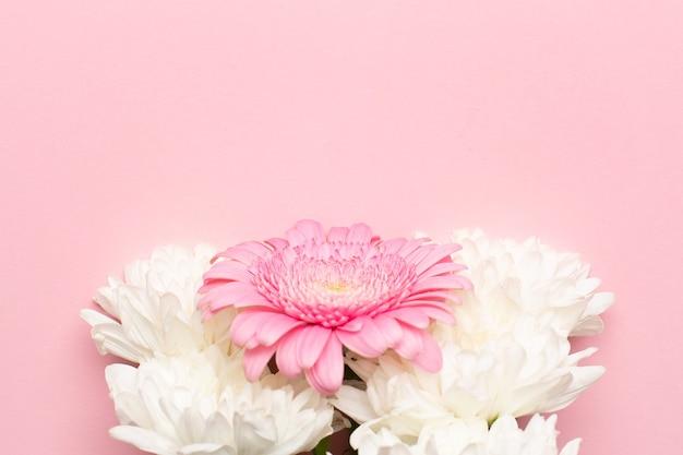 Kwiat różowy i biały gerbera