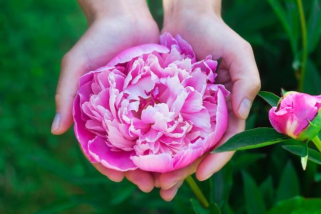Kwiat różowy kwiat, piwonia w ręce