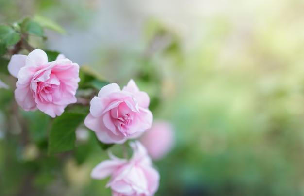 Kwiat różowy kwiat róży w ogrodzie.