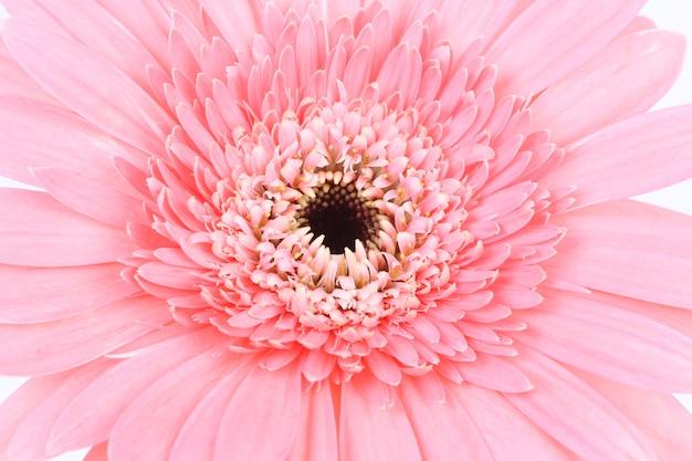 Kwiat różowy stokrotka