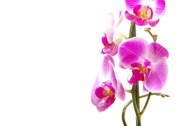 Kwiat różowy streaked orchid, na białym tle