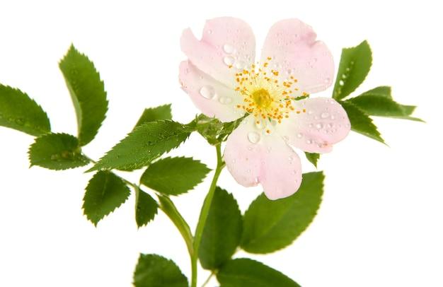 Kwiat róży biodrowej, na białym