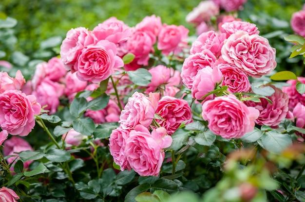 Kwiat róży na tle rozmyte różowe róże kwiat w ogrodzie róż. natura.