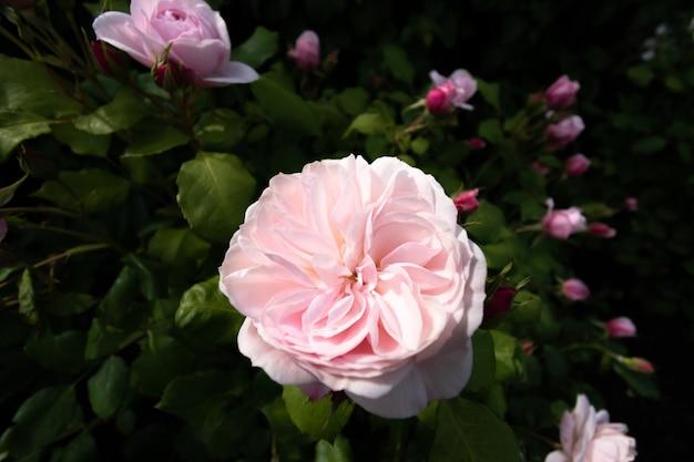 Kwiat róży w letnim ogrodzie na tle zielonych liści.