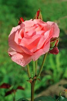Kwiat róży z kroplami rosy na tle zielonego ogrodu