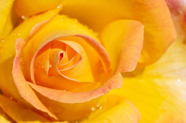 Kwiat róży z żółtymi płatkami zbliżenie z góry