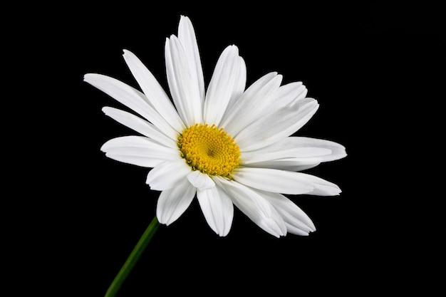 Kwiat rumianku ogrodowego lub leczniczego (matricaria recutita) na czarnym tle. pojęcie naturalności. tapeta, plakat.