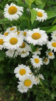 Kwiat rumianku ogrodowego lub leczniczego (matricaria recutita). pojęcie naturalności. tapeta, plakat z naturalnym tłem.