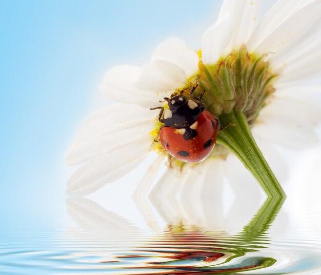 Kwiat rumianku z biedronką na błękitnym niebie w wodzie