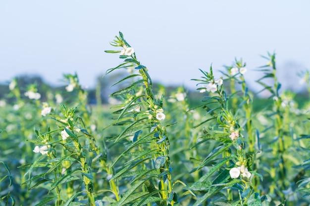 Kwiat sezamu na drzewie w polu, sezam to wysoka jednoroczna roślina zielna z obszarów tropikalnych i subtropikalnych uprawiana ze względu na bogate w olej nasiona