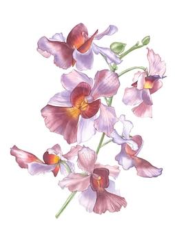 Kwiat singapuru, ilustracja vanda miss joaquim flowers. narodowy kwiat singapuru. akwarela ręcznie rysowane fioletowa orchidea na białym tle