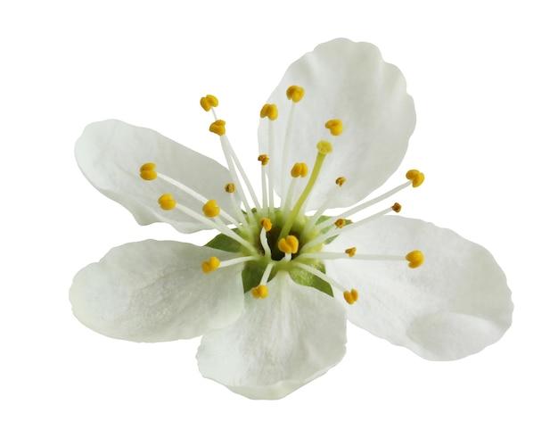 Kwiat śliwki na białym tle na białym tle. jeden kwiat z białymi płatkami i żółtymi pręcikami.