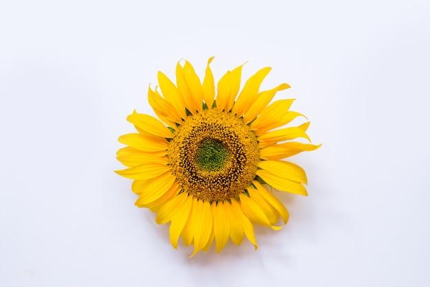 Kwiat słonecznika na białym tle.