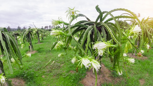 Kwiat smoczego owocu kwitnie latem,