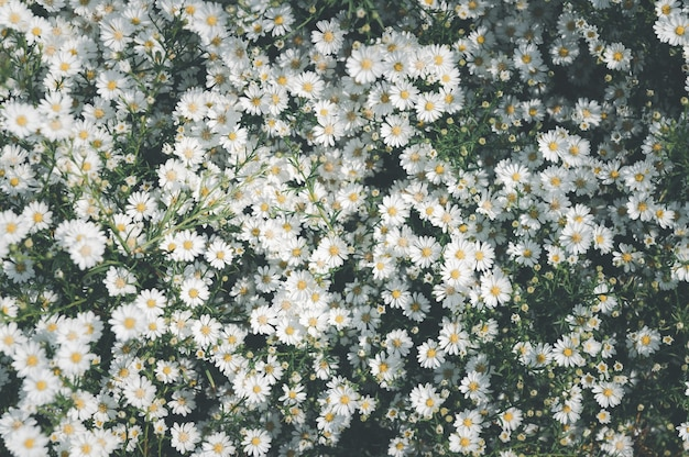 Kwiat stokrotka kwiaty tło