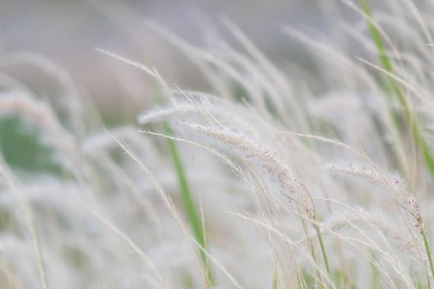 Kwiat suchej trawy wiejący wiatr, czerwona trzcina kołysze się na wietrze