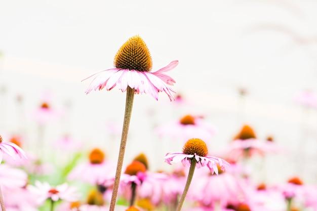 Kwiat szyszki, echinacea.