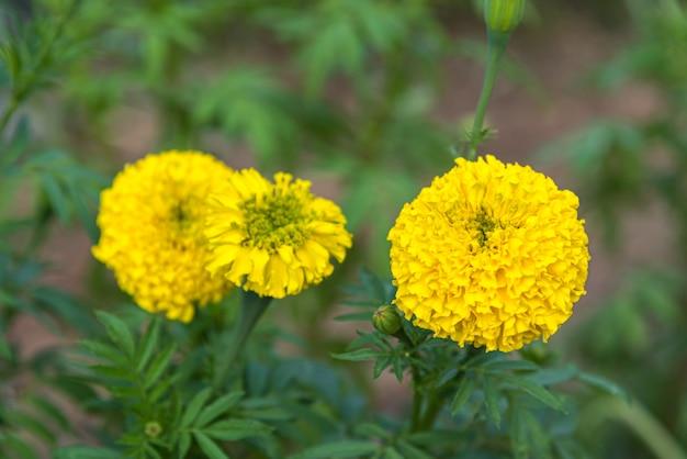 Kwiat (tagetes erecta, nagietek meksykański, nagietek aztecki) żółty c