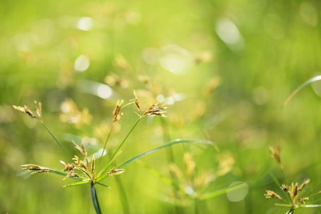 Kwiat trawa z wschodu słońca bokeh
