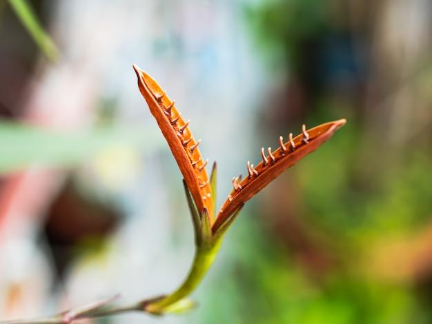 Kwiat trawy jest otwarty z ostrymi kolcami.