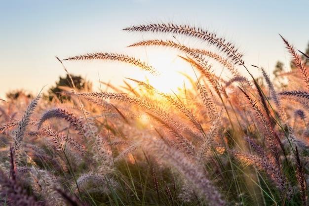 Kwiat trawy o zachodzie słońca.