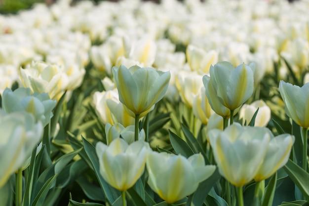 Kwiat tulipana. kwiat w ogrodzie w słoneczny dzień lata lub wiosny. kwiat na pocztówkę piękno dekoracji i koncepcji rolnictwa.
