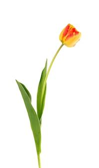 Kwiat tulipana na długiej łodydze z liśćmi, na białym tle. piękne wiosenne kwiaty.