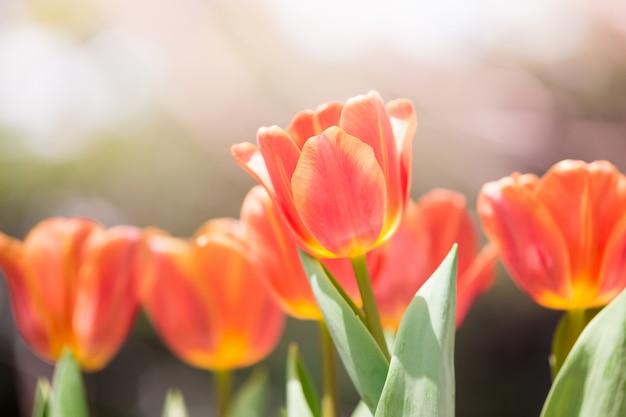 Kwiat tulipany