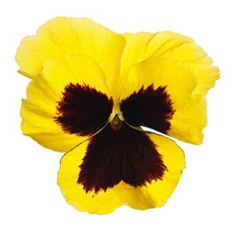 Kwiat viola wittrockiana sfotografowany z bliska, na białym tle na białej powierzchni.
