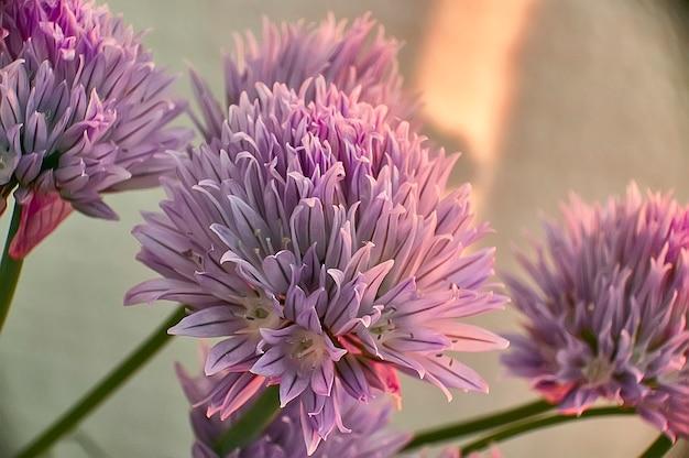 Kwiat w fazie pełnego kwitnienia trawa szczypiorek (allium schoenoprasum). szczegóły płatków tego kwiatu w jasnych kolorach.