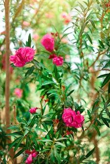 Kwiat wiosna, egzotyczne lato, słoneczny dzień koncepcja. kwitnący różowy oleander kwiat lub nerium w ogródzie. dzikie kwiaty w izraelu.