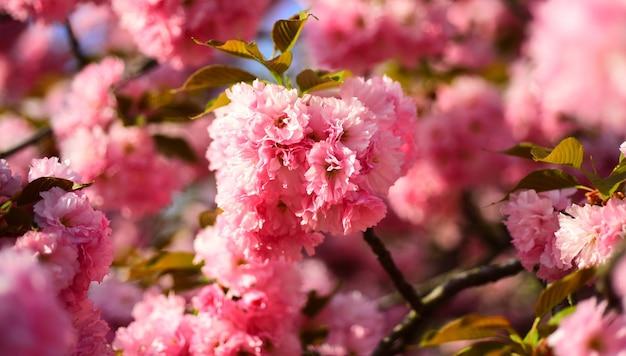 Kwiat wiśni. festiwal sakura w kopenhadze. wiśnia sacura. kwitnące drzewo na tle przyrody. wiosenne kwiaty