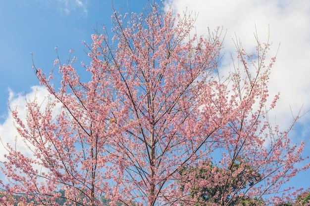 Kwiat wiśni i chmury niebo dla naturalnego tła.
