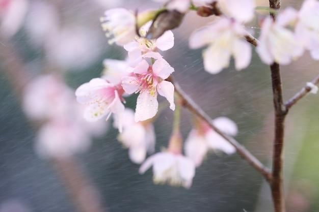 Kwiat wiśni, kwiaty sakura