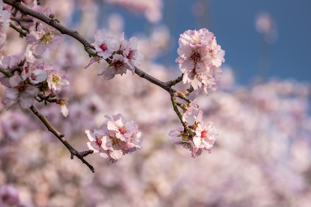 Kwiat wiśni, kwitnące drzewo sakura, różowe kwiaty