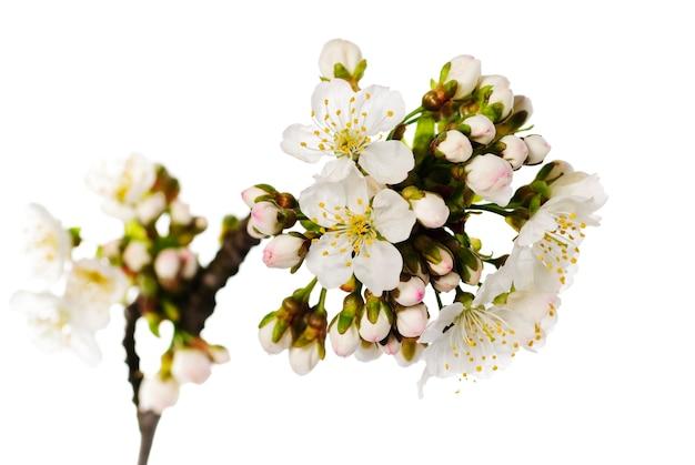 Kwiat wiśni na białym bakcground