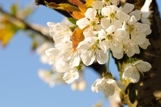 Kwiat wiśni na drzewie wiosną