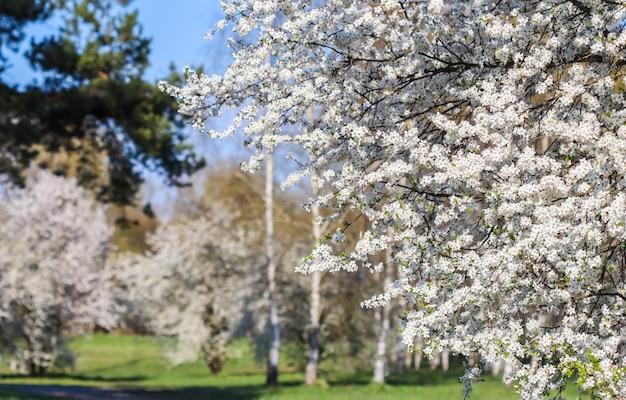 Kwiat wiśni na tle brzozowego lasu piękne białe kwiaty