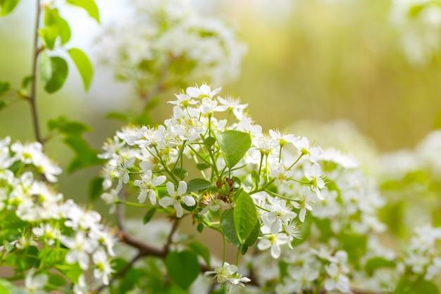 Kwiat wiśni na wiosnę