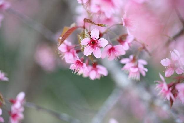 Kwiat wiśni, różowy kwiat sakura