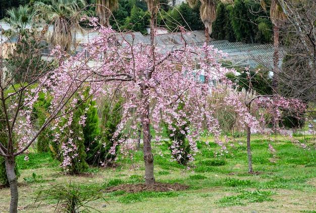 Kwiat wiśni, sakura kwiaty na drzewie wiosną. wiśnie w ogrodzie