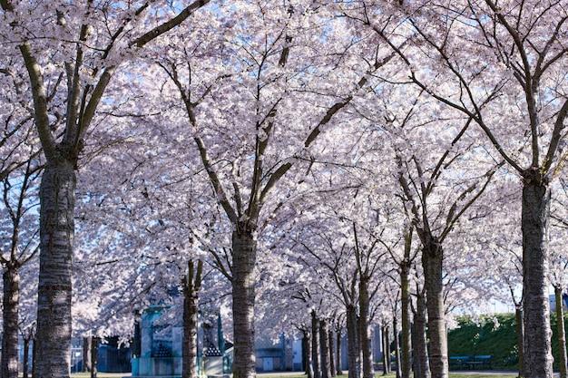 Kwiat wiśni (sakura) w parku langelinie. festiwal sakura w kopenhadze