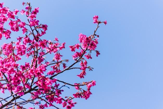 Kwiat wiśni (sakura) z ptakami pod błękitnym niebem w parku shinjuku gyo-en w tokio w japonii. dobre miejsce na powołanie na wiosnę.