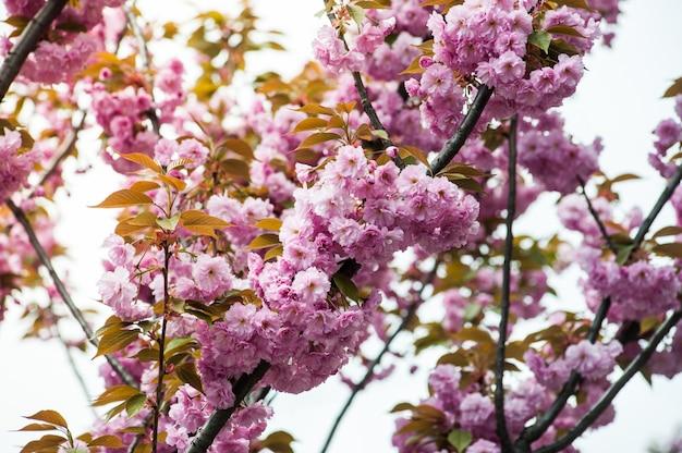 Kwiat wiśni. sakura