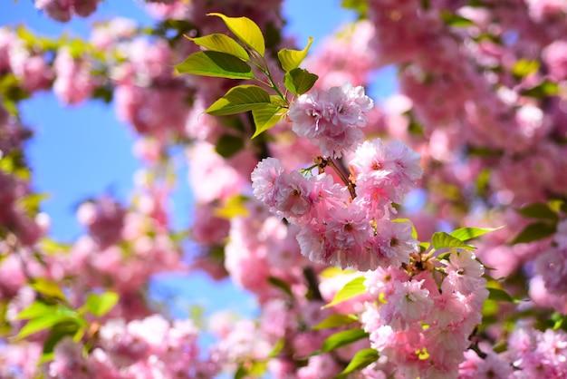 Kwiat wiśni. tło wiosna kwiatów. wiśnia sacura. festiwal sakura