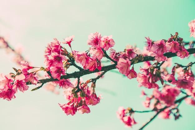 Kwiat wiśni vintage i sotf światło dla naturalnego tła