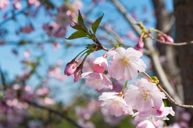 Kwiat wiśni w ogrodzie wiosną