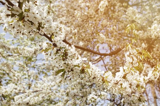 Kwiat wiśni w ogrodzie z zielonymi liśćmi. wiele kwitnących białych kwiatów na gałęziach wiśni z małymi pąkami.