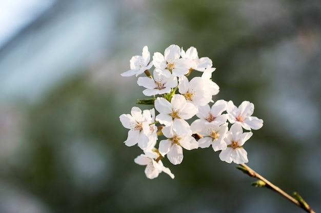 Kwiat wiśni w pełnym rozkwicie