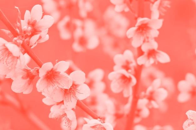 Kwiat wiśni w stonowanych koralach